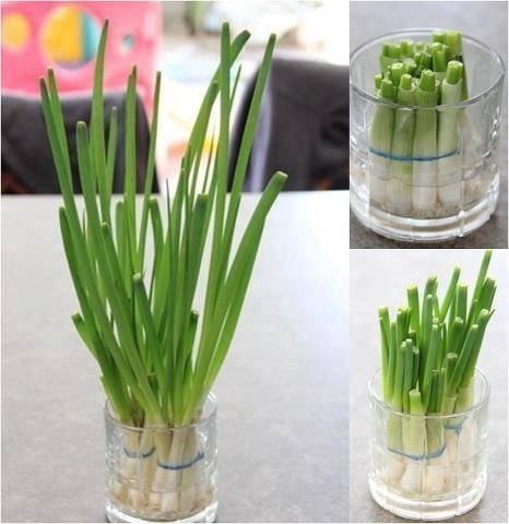 Como Plantar Cebolinho em Vaso (1)
